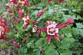 Aquilegia 'Origami Red and White' 1.JPG