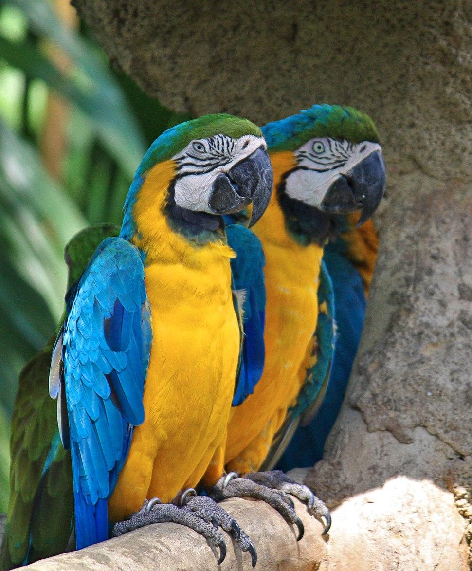 Ara ararauna -Jurong Bird Park, Singapore-8