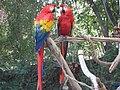 Ara macao -Phoenix Zoo-8a.jpg