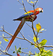 https://upload.wikimedia.org/wikipedia/commons/thumb/1/12/Ara_macao_-Puntarenas_Province%2C_Costa_Rica-8.jpg/226px-Ara_macao_-Puntarenas_Province%2C_Costa_Rica-8.jpg