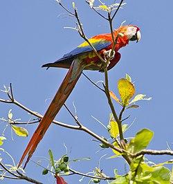 Ara macao -Puntarenas Province, Costa Rica-8.jpg