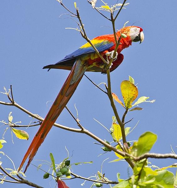 File:Ara macao -Puntarenas Province, Costa Rica-8.jpg