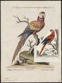 Ara macao - 1700-1880 - Print - Iconographia Zoologica - Special Collections University of Amsterdam - UBA01 IZ18500081.tif
