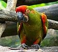 Ara rubrogenys -Jurong BirdPark-8.jpg