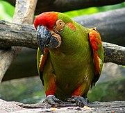 Ara rubrogenys -Jurong BirdPark-8