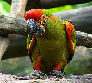 Mizque Province - Red-fronted macaw  (Ara rubrogenys)