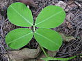 Arachis pintoi leaf5 (8662282004).jpg