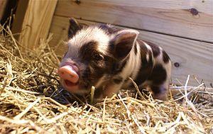 Arapawa pig - Arapawa Piglet.