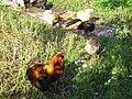 Araucana-PICT0025 edited.JPG