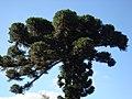 Araucaria proximo do parque tangua em curitiba - panoramio.jpg