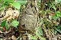 Arboreal Termite nest Valparai TN.jpg