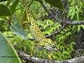 Archaius tigris Seychelles.jpg