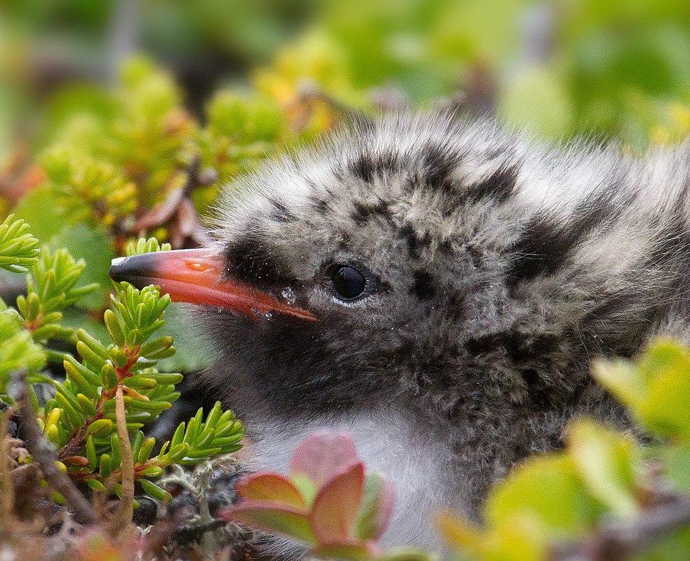 Arctic Tern chick-4c
