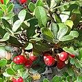 Arctostaphylos uva ursi.jpg