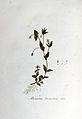Arenaria trinervis — Flora Batava — Volume v6.jpg