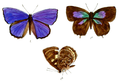 ArhopalaChinensis 689 1 Fitch.png