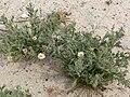 Arida arizonica 5.jpg