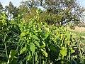 Aristolochia clematitis sl18.jpg