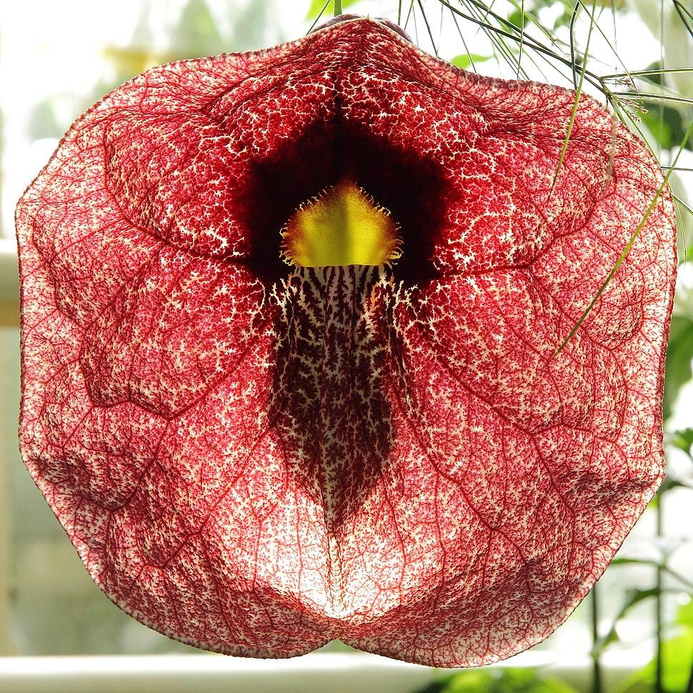 Aristolochia gigantea-IMG 5523