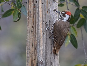 Arizona Woodpecker (33591571350).jpg