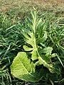Armoracia rusticana sl3.jpg