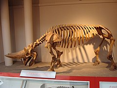 Arsinoitherium zitteli.001 - Natural History Museum of London.JPG