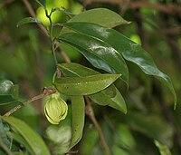 Artabotrys hehaprtalus (Hirva champa) in Hyderabad, AP W IMG 9185