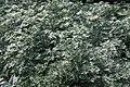 Artemisia absinthium 1zz.jpg