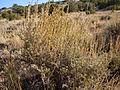 Artemisia nova (5041672673).jpg