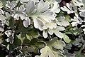 Artemisia stelleriana Silver Cascade 0zz.jpg