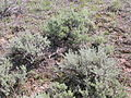 Artemisia tridentata wyomingensis and rattlesnake (4010014149).jpg