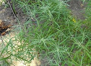 <i>Artemisia palmeri</i> species of plant