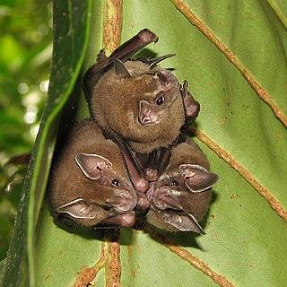 Leaf-nosed bat Family of bats