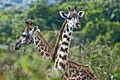Arusha Tanzania Giraffe.jpg