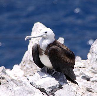 Ascension frigatebird - Juvenile