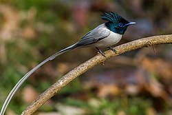 Asian Paradise Flycatcher male - Sattal, Uttarakhand, India.jpg