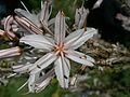 Asphodelus aestivus - Lasithi.jpg