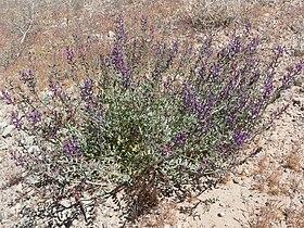 Astragalus lentiginosus var fremontii 1.jpg