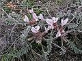 Astragalus testiculatus (in bloom).jpg