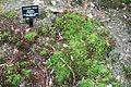 Atrichum undulatum - Jenkins Arboretum - DSC00655.JPG