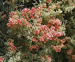 lagerstroemia rouge