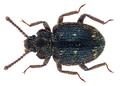 Atyscus argutus Pascoe (26356384051).png
