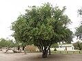 Augrabies-Pappea capensis-001.jpg
