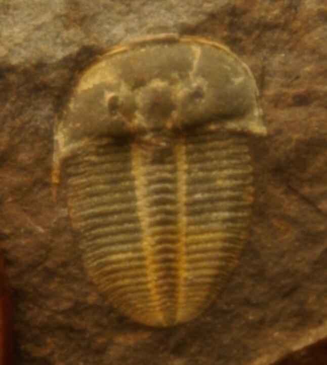 Aulacopleura konicki