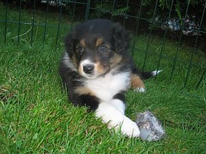 English: Australian shepherd puppy tricolor Da...