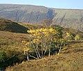 Autumn birches - geograph.org.uk - 1279112.jpg