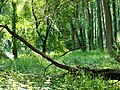 Auwald in den Donau-Auen 20.JPG