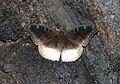 Auzakia danava albomarginata female (25648582995).jpg