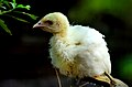 Baby Indian peafowl (Lahore Zoo) by Damn Cruze.jpg