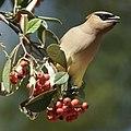 Backyard Bird (49813848543).jpg
